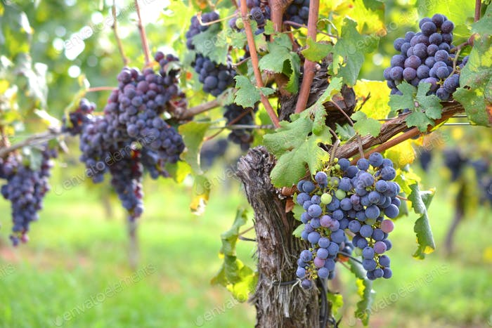 Lovely cluster of grapes in a vineyard -- copy space