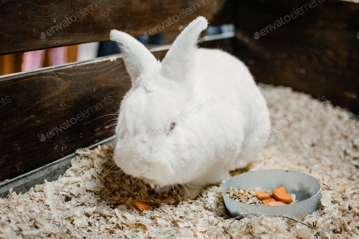Cute White Lionhead rabbit eating carrot. Rabbit breeding. How to breed your rabbit.