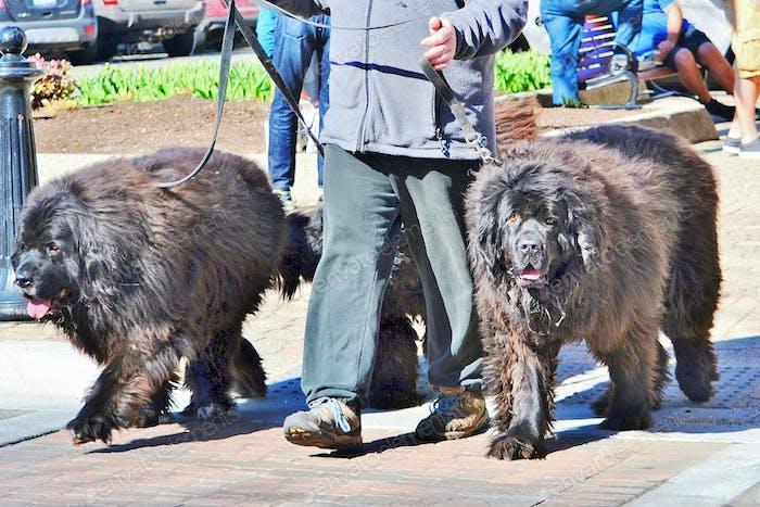 walking the twin dogs