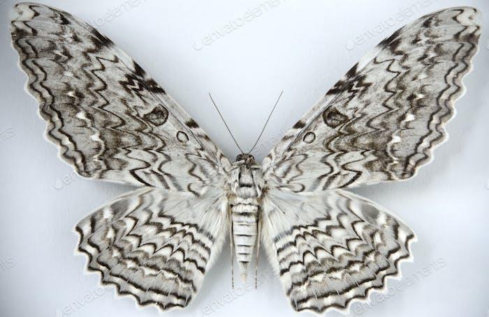 Mammoth snow moth