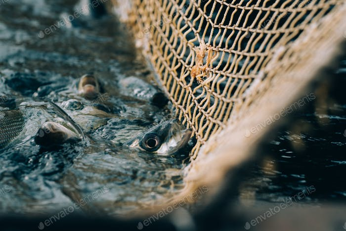 bunch of fishes in a fishnet