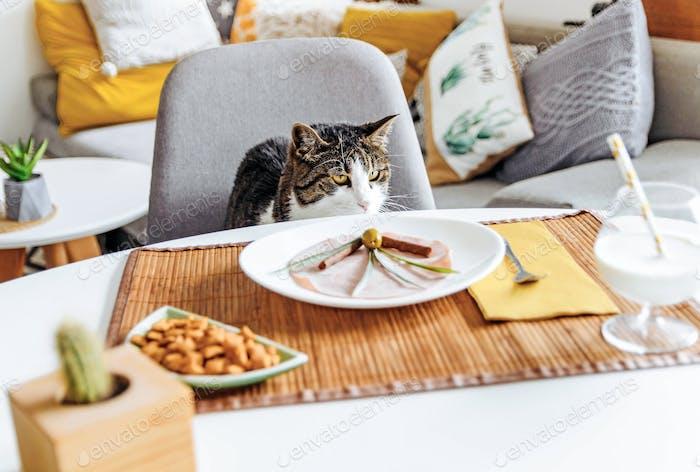 Katze sitzt am Tisch und wartet geduldig auf das Mittagessen