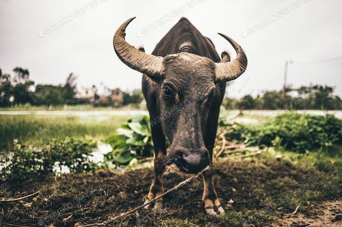Vietnamese water buffalo.