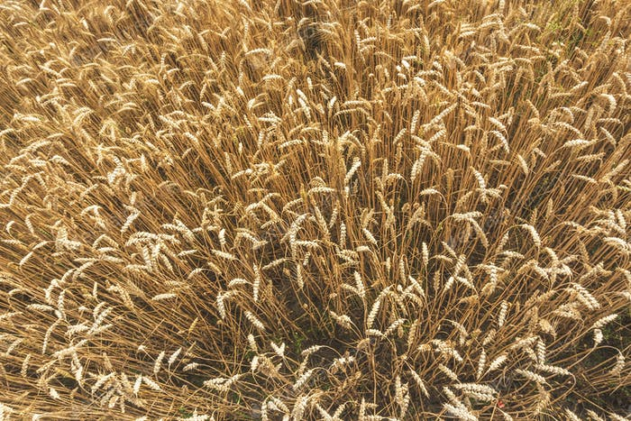 Above view of wheat