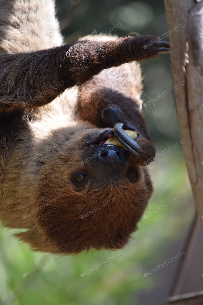 Sloth eating lunch while hanging upside down