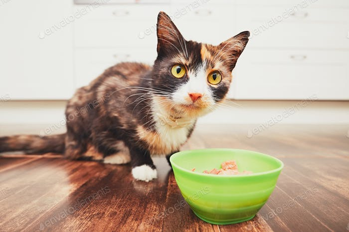 Domestic life with pets. The hungry cat eating from bowl in the kitchen.