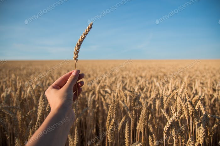 Spica in the hand on background of wheat field and blue sky