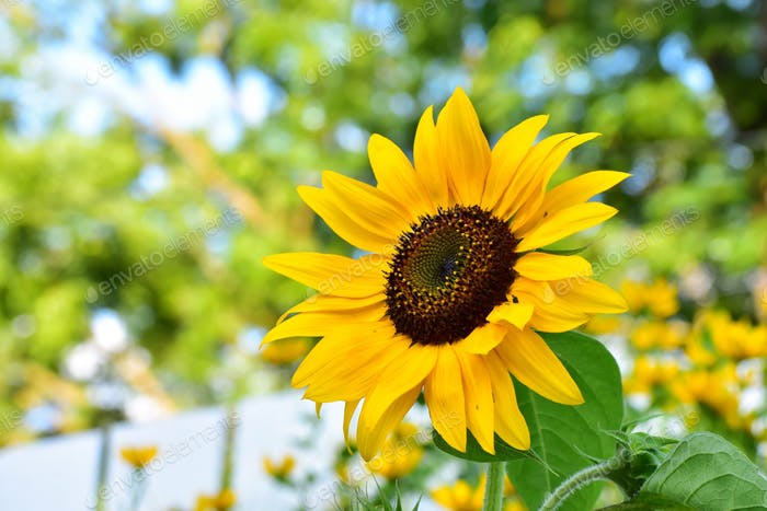 Sunflower in late summer