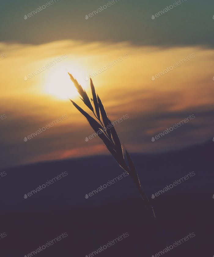 Wheat in sunset light