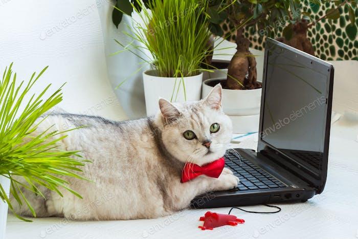 Intelligente müde feste Katze in der roten Fliege vom Computerbildschirm abgelenkt