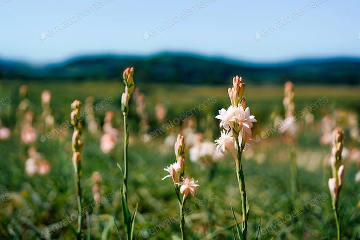 Plantation of tuberose flowers in summer