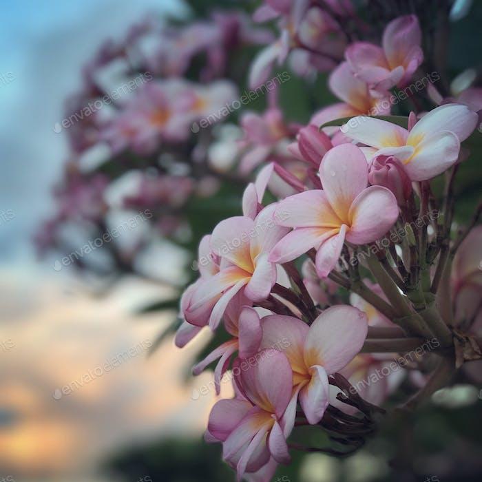 Aloha Friday plumeria