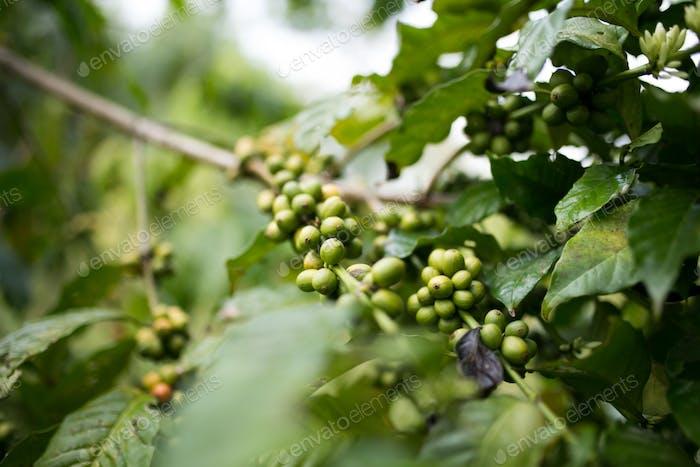 Pepperplant in Uganda