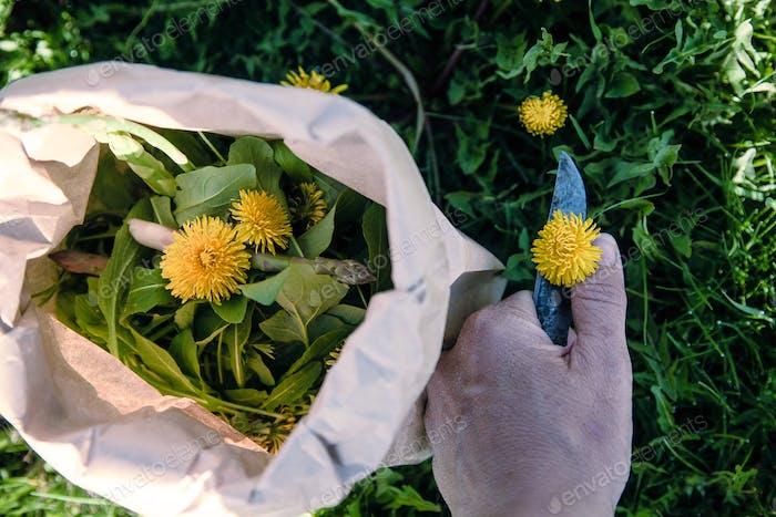 Asparagus and dandelion foraging