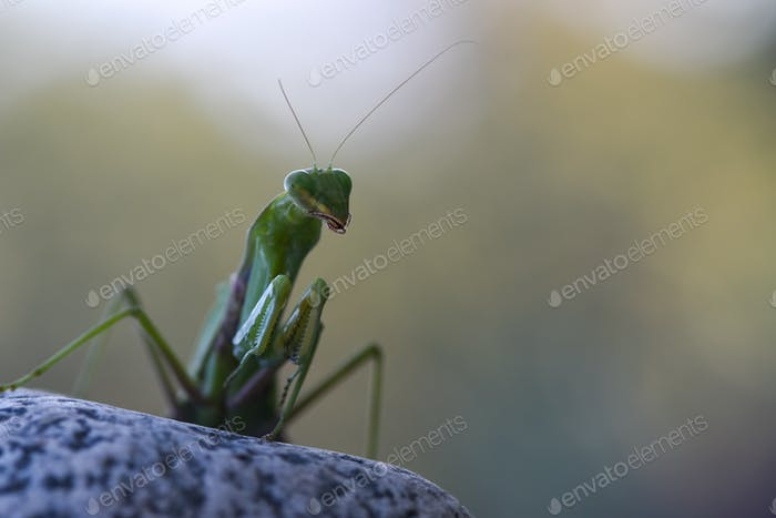 Close up shot of green mantis on nature background. Predatory insect.