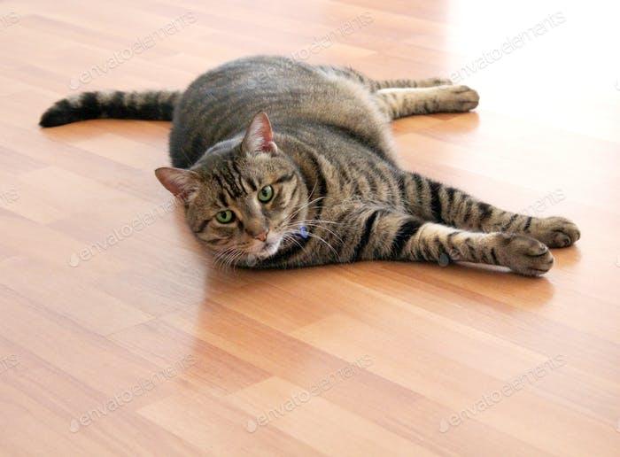 Pet tabby cat lying down on the floor
