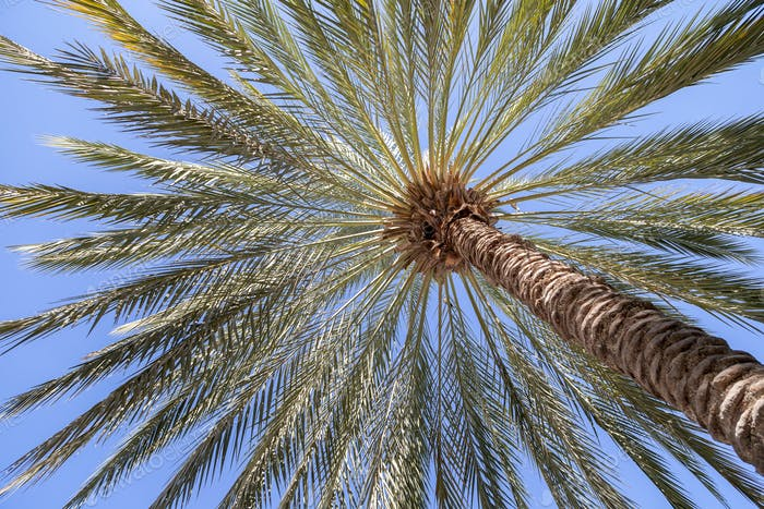 Date palm tree over blue sky during the day in Abu Dhabi, UAE. Tropical paradise.