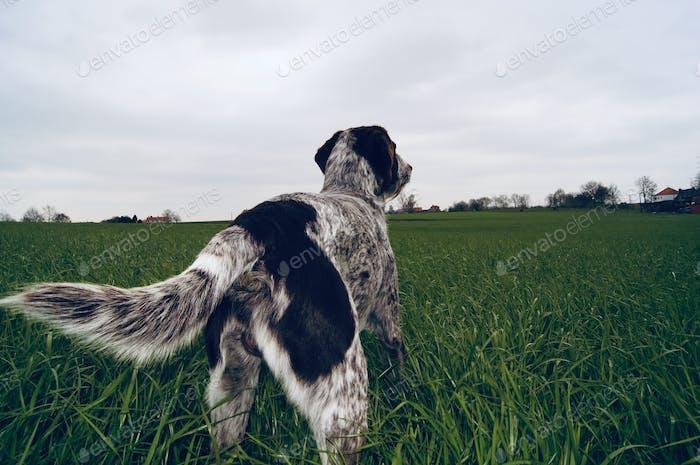 Pointerdog from behind overlooking a big grass field...