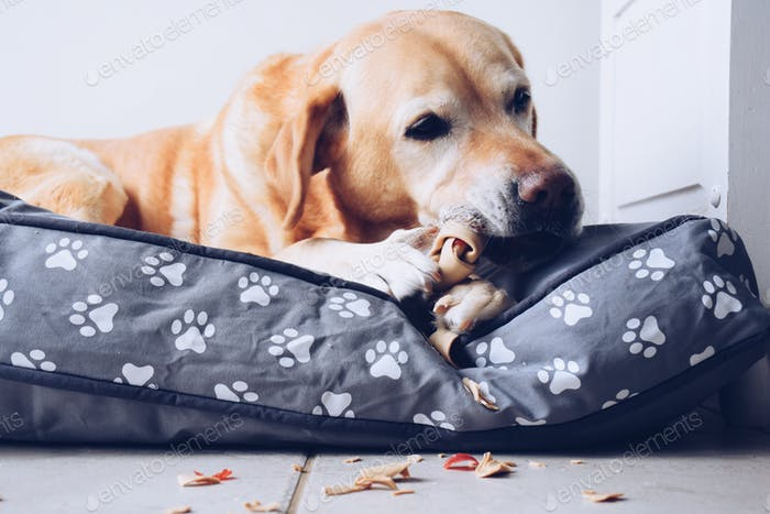 Yellow Labrador dog chewing a bone laying on a dog pillow  💲 ✨NOMINATED✨