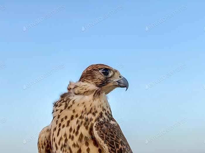 Falcon of Qatar
