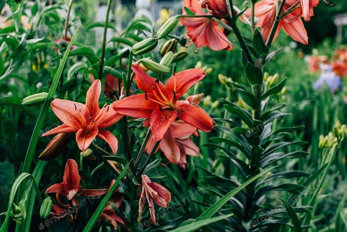 Red Lilies in Wisconsin