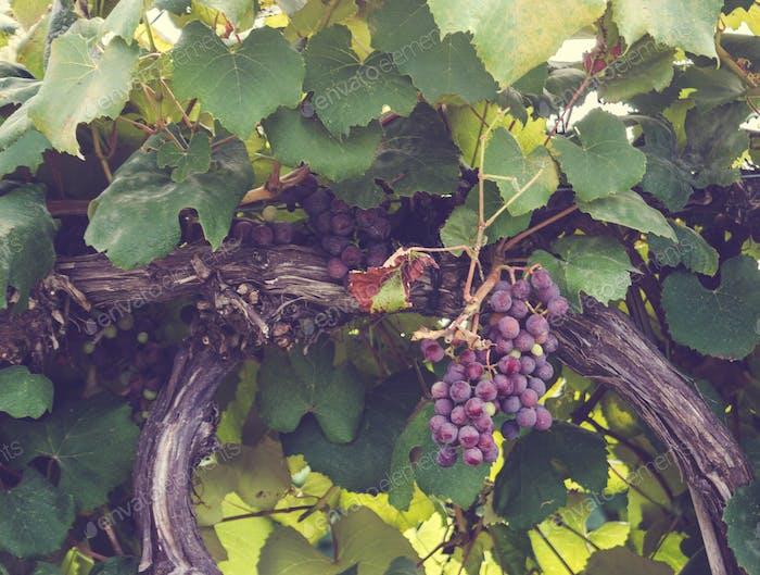 Trauben an einer Rebe von einem Weingut