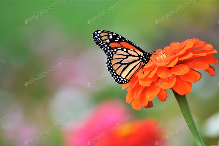 Monarch butterflies are the most beautiful of all butterflies