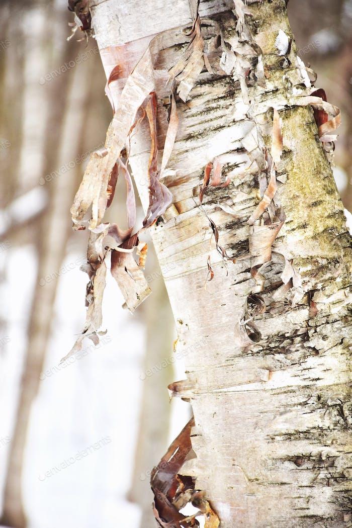 Tree bark peeling off of birth tree