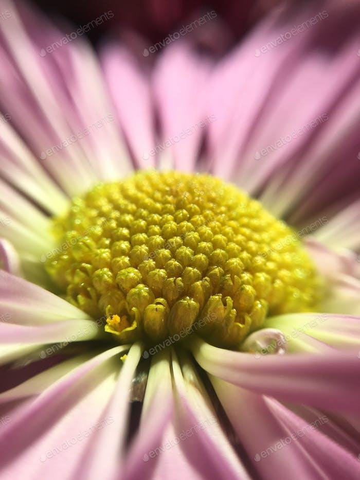 Chrysantheme Blume Nahaufnahme