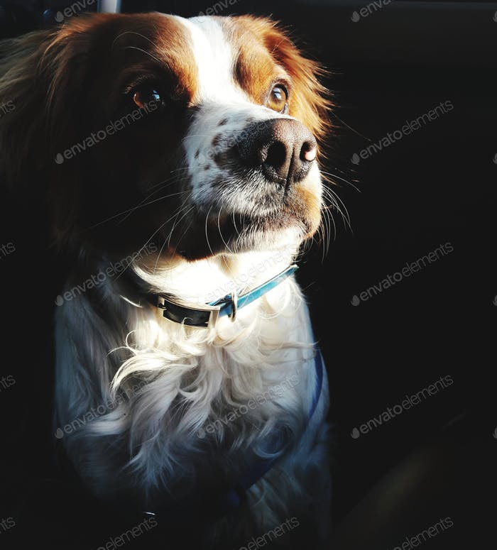 Portrait of beautiful dog sitting indoor  Nominated for signature collection thank you 💜💕💜💕