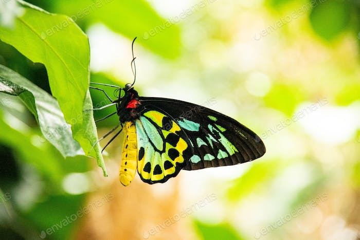 Close up of colorful swallowtail butterfly with black spots on leaf