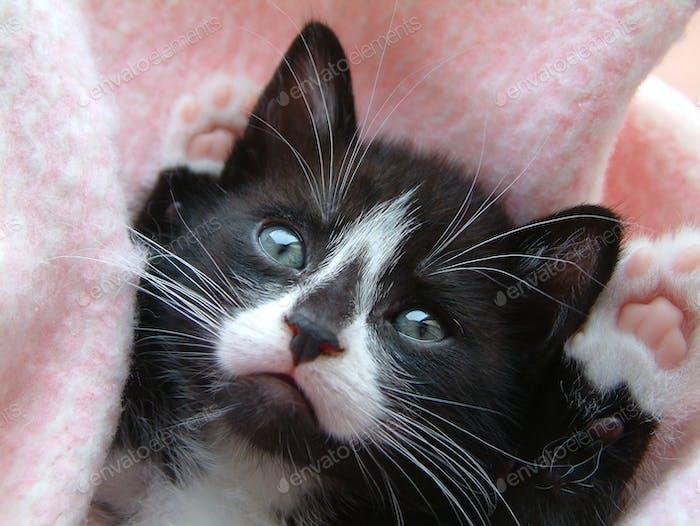 Schwarz-weißes Kätzchen, Pfoten up
