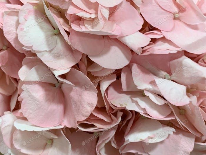 Pale Pink Petals
