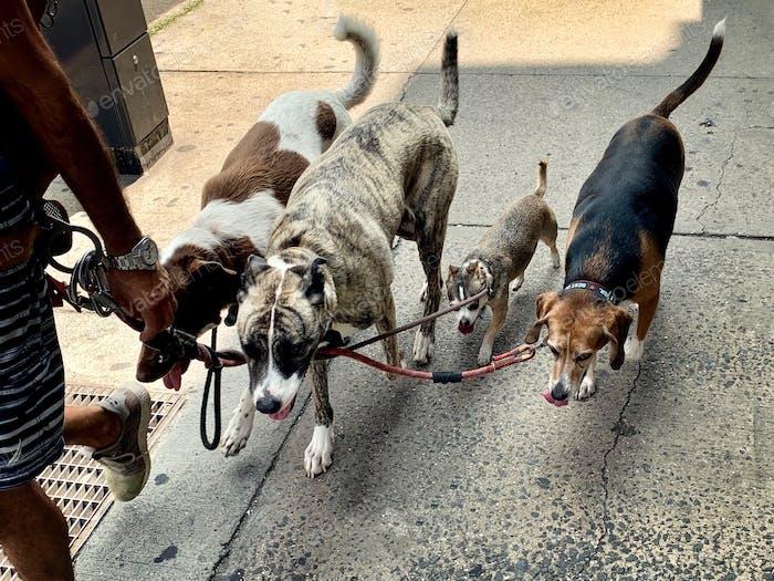 Paseador de perros llevando perros a dar un paseo.