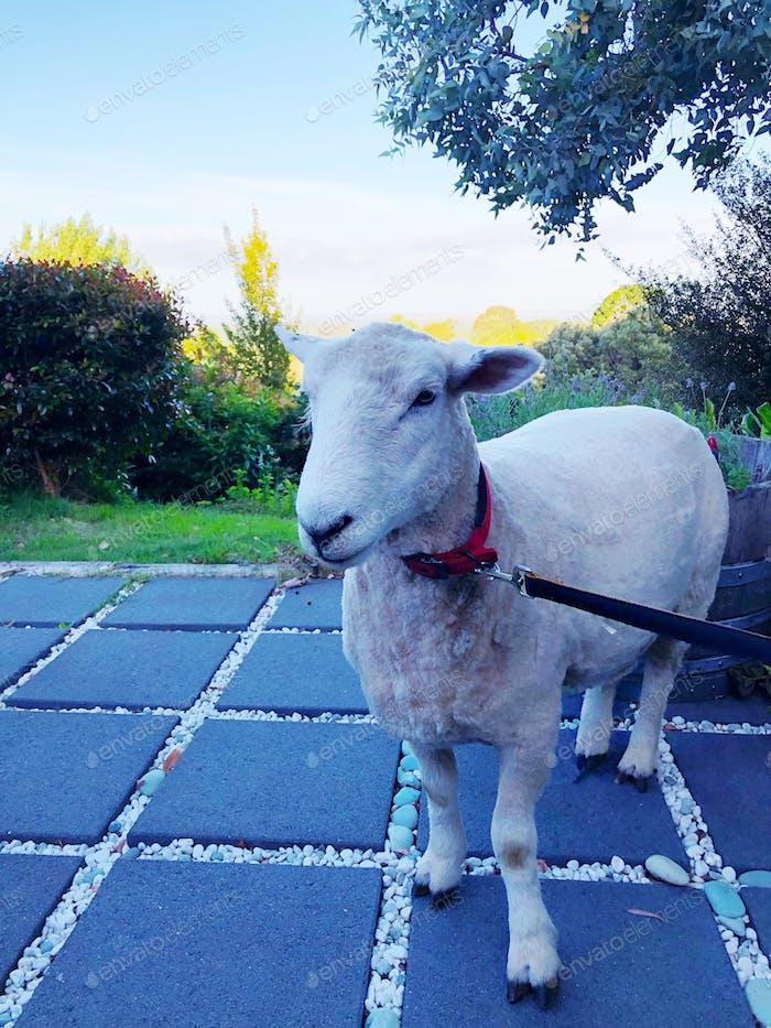 Super cute pet sheep 🐑 Cute pet. Cute pets. Cute animals. Domestic animals. Domesticated animals.