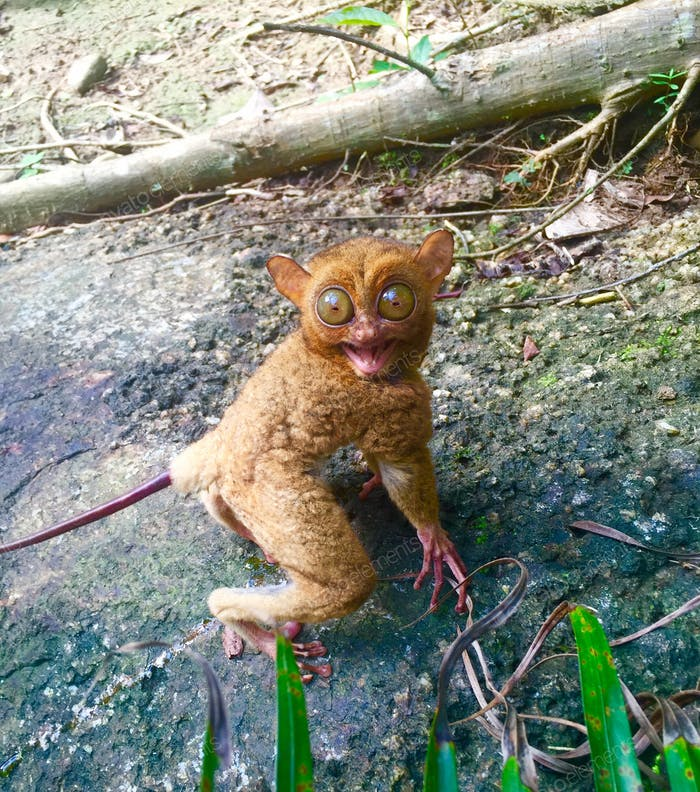 Tarsius. beautiful forest creature.  go away humans ! (you make me scared)