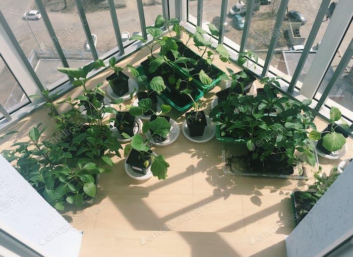 Caring for seedlings, seedlings of vegetables on the balcony.