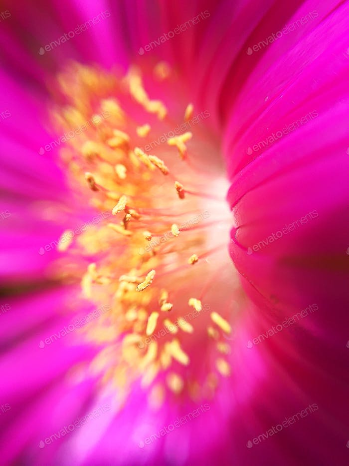 Close up inside a pink and yellow flower.