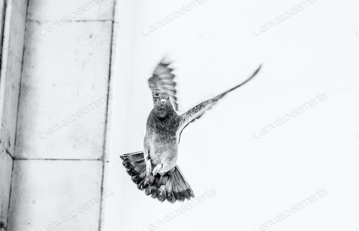 Pigeon in mid flight