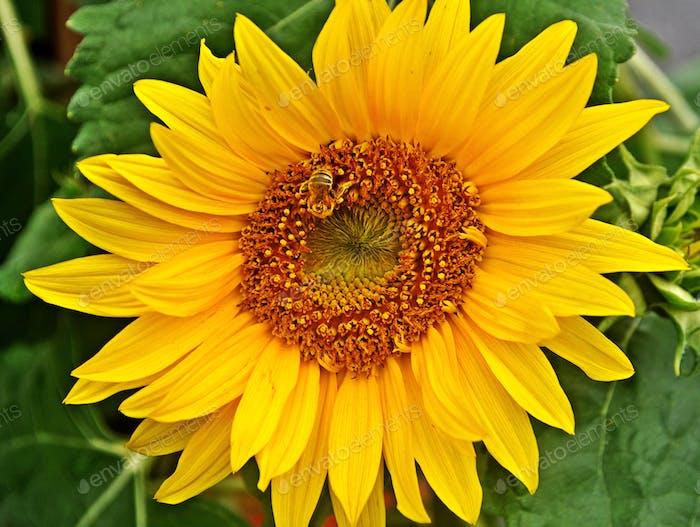 Wasp Camouflaged on Sunflower