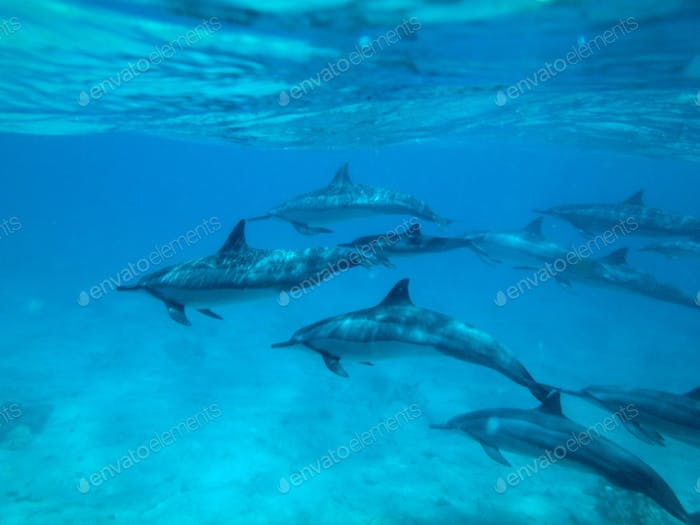 Pod of Dolphins- backdrop