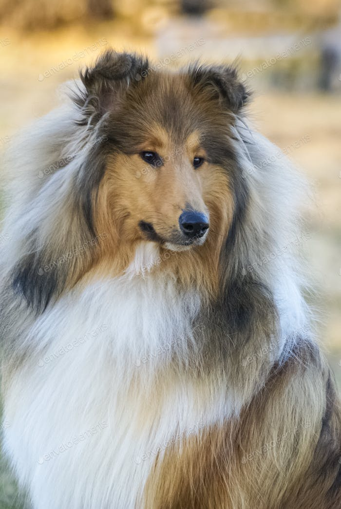A beautiful Rough Collie