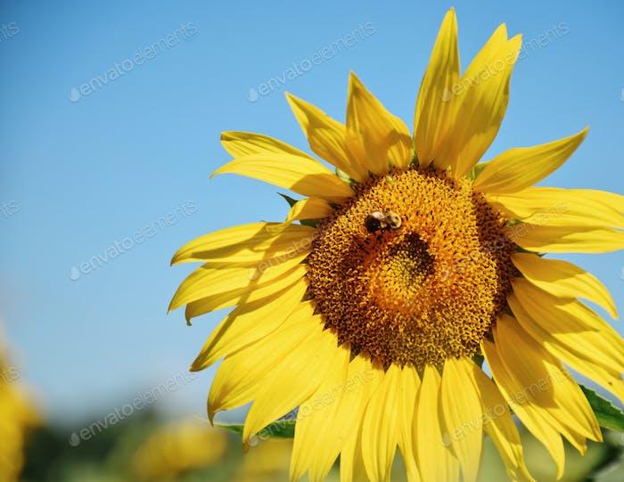 Sonnenblume mit Hummel und blauem Himmel