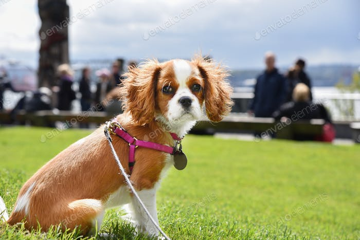 Cavalier King Charles spaniel on green summer grass.