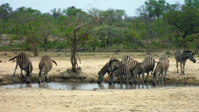 Zebras Drinking Water, Kruger National Park in South Africa