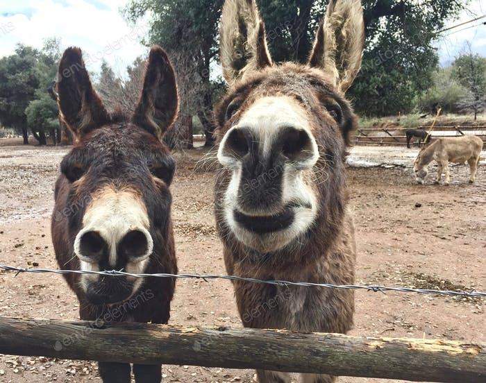 Two donkeys at the ranch!