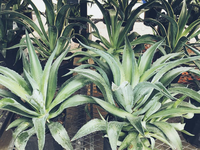 Agave plants in a nursery