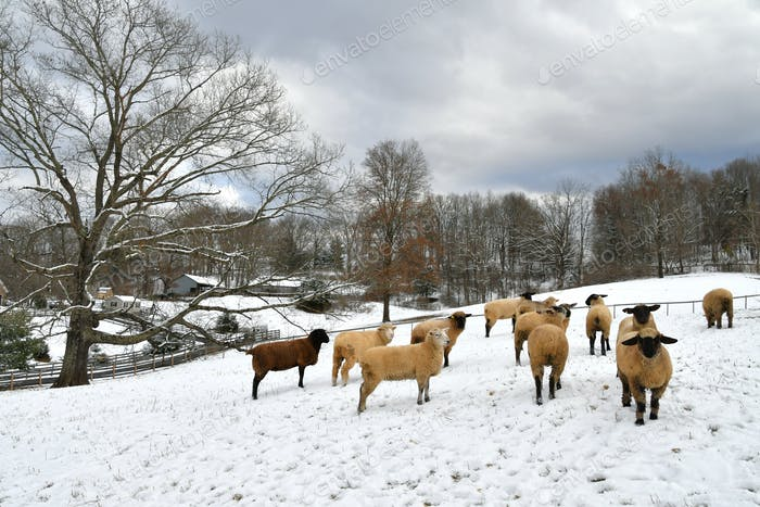 Sheep lambs in a snow covered field on a farm