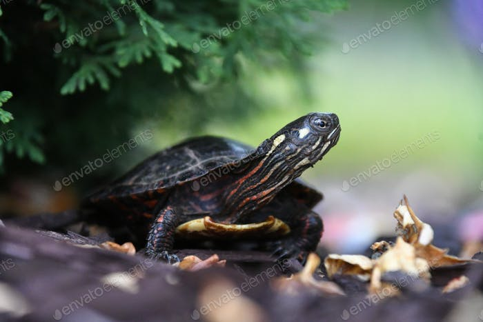 A baby hatchling Painted Turtle hiding under a bush. Land tortoise reptile with a shell.