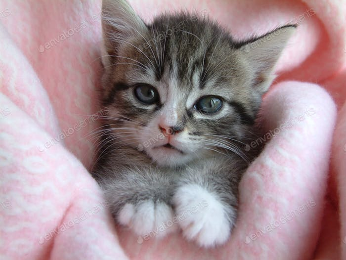 Adorable tabby kitten with blue eyes, on a pink blanket